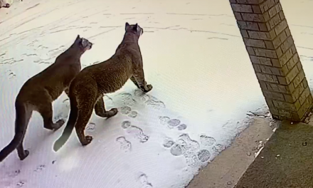 Cougars caught on camera in Davis Co. neighborhood